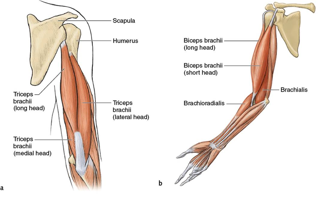 Biceps And Triceps Diagram Of Goat Block And Schematic Diagrams