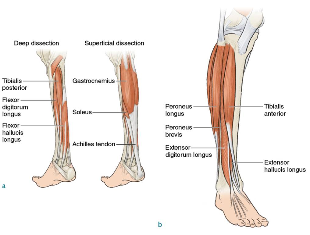 Lower Legs and Feet - Running Anatomy (Sports Anatomy)