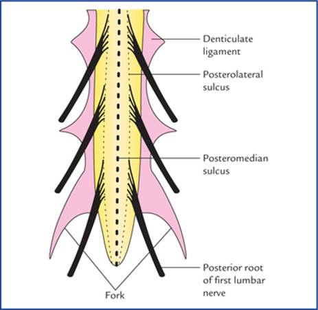 Spinal Cord Textbook Of Clinical Neuroanatomy 2 Ed The filum terminale (terminal thread) is a delicate strand of fibrous tissue, about 20 cm in length, proceeding downward from the apex of the conus cauda equina and filum terminale seen from behind. spinal cord textbook of clinical