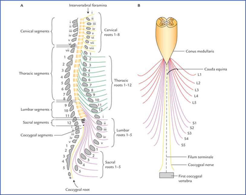 Spinal Cord Textbook Of Clinical Neuroanatomy 2 Ed Learn more about filum terminale. spinal cord textbook of clinical