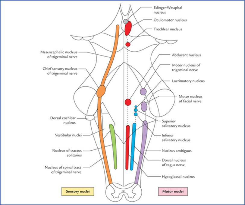 Nuclei Functional Components And Distribution Of Cranial Nerves