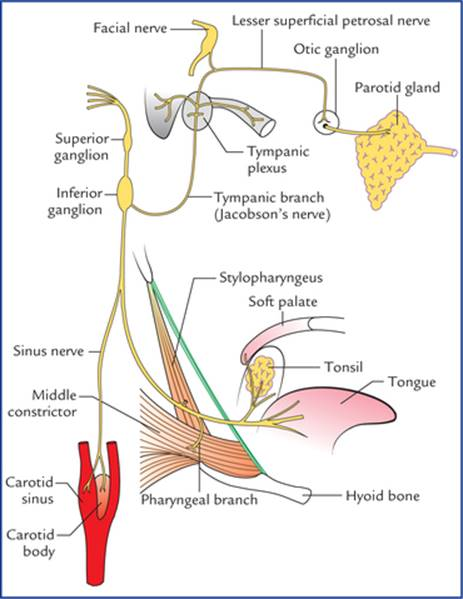 Nuclei, Functional Components and Distribution of Cranial Nerves ...