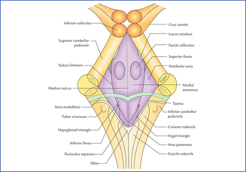 Cerebellum And Fourth Ventricle Textbook Of Clinical Neuroanatomy