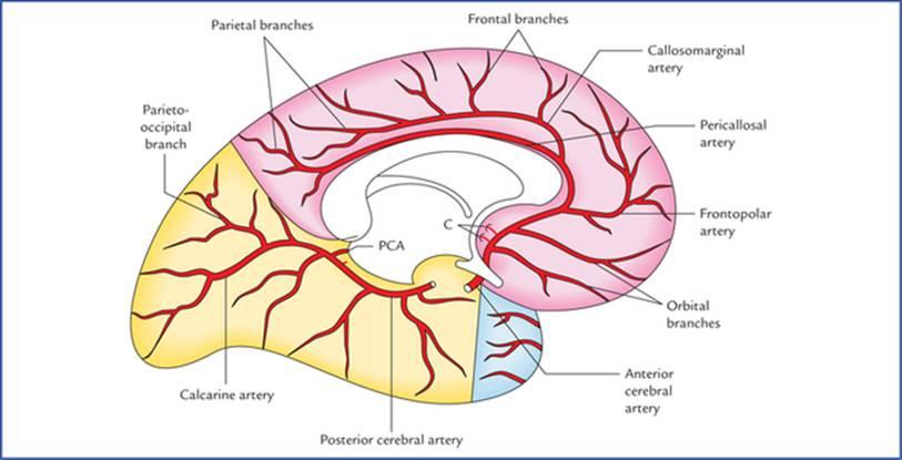 Blood Supply of the Brain - Textbook of Clinical Neuroanatomy, 2 ed.