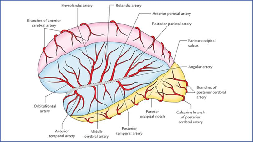 Blood Supply Of The Brain Textbook Of Clinical Neuroanatomy 2 Ed
