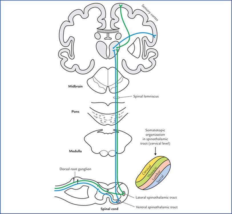 Somatic Motor and Sensory Pathways - Textbook of Clinical ...