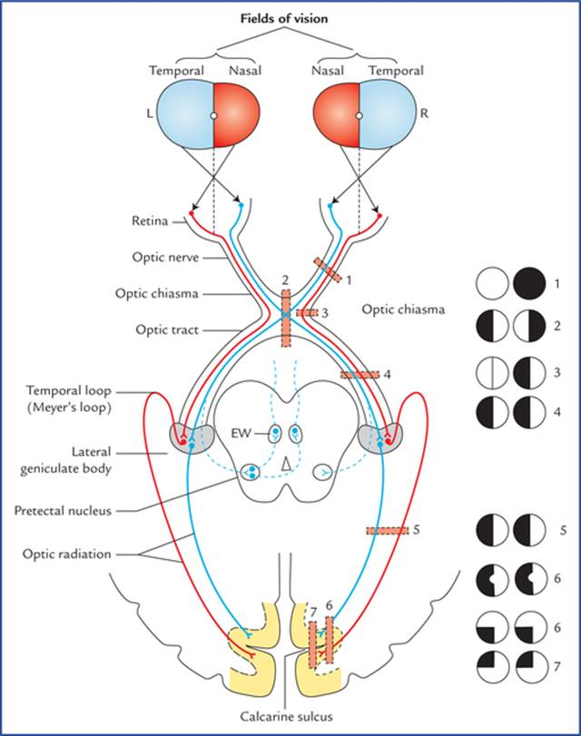 Special Senses and their Neural Pathways - Textbook of Clinical ...