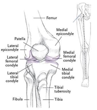 The knee joint and leg yogabody anatomy kinesiology and asana 91 far left anterior knee joint ccuart Image collections