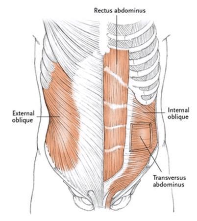 The Abdomen - Yogabody: Anatomy, Kinesiology, and Asana