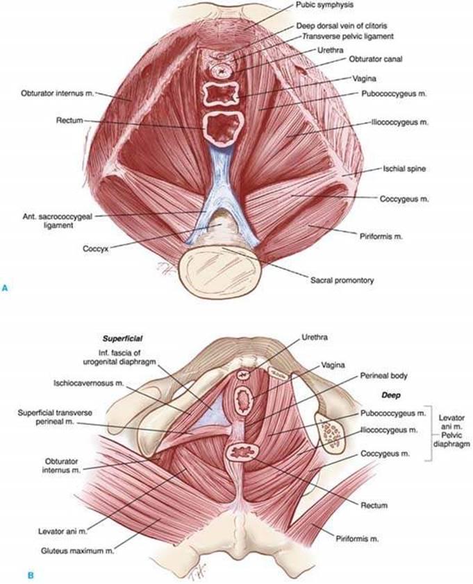 Anatomy and Embryology - Berek and Novak\'s Gynecology 15th Ed.