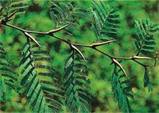 Acacia Spp - The Most Important Genera and Species from A to