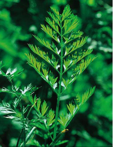 Little-Studied Psychoactive Plants - The Encyclopedia of