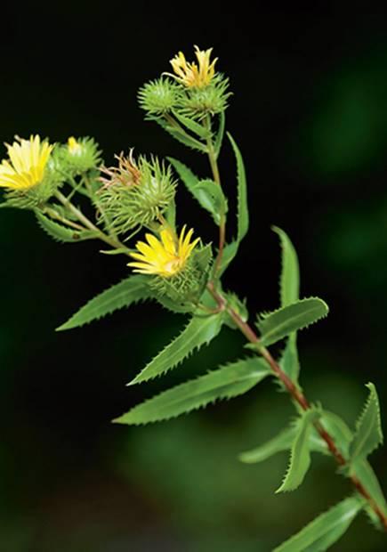 Arnica Montana 10 pcs bonsai Medicinal vanilla seeds