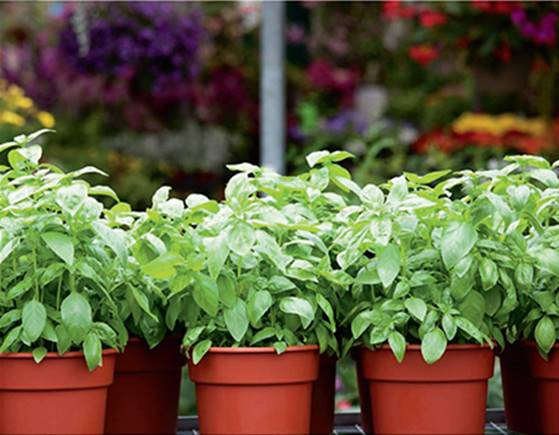 Herb plug plants to grow on indoors various mints parsley lemon balm   etc