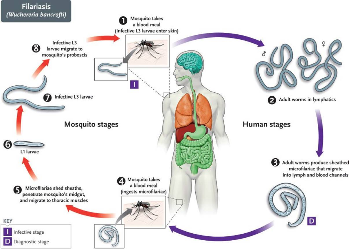 Nematodes - Review of Medical Microbiology and Immunology ...