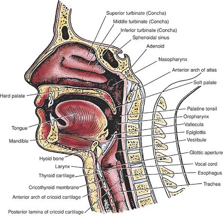 Applied Functional Anatomy Of The Airway Manual Of Emergency