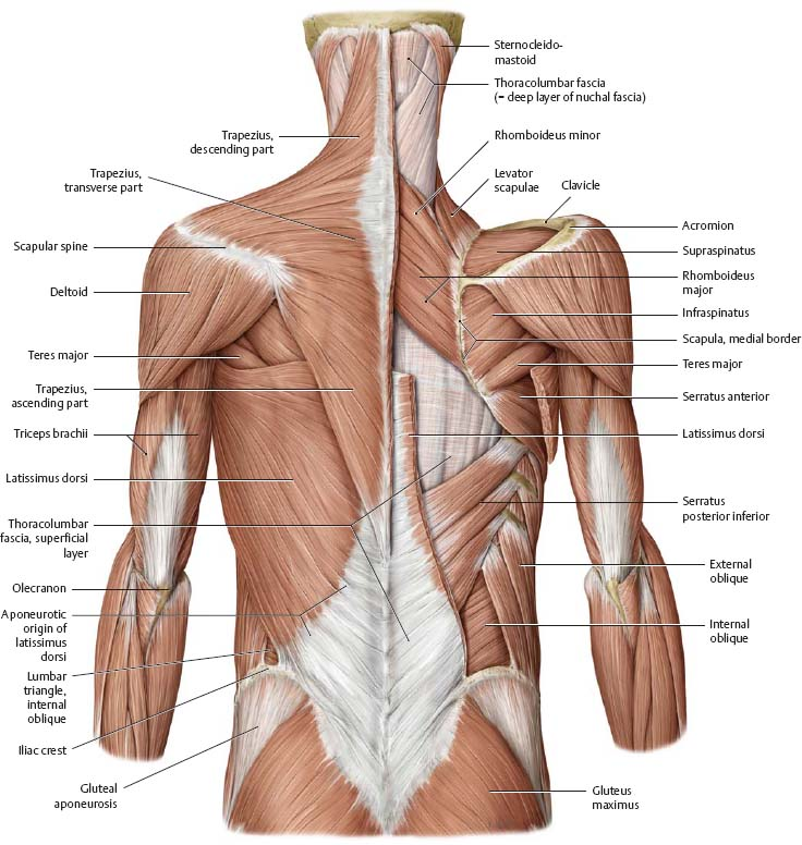 Muscles Atlas Of Anatomy