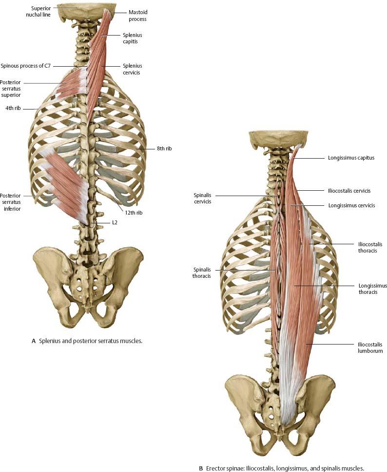 Muscles Atlas Of Anatomy
