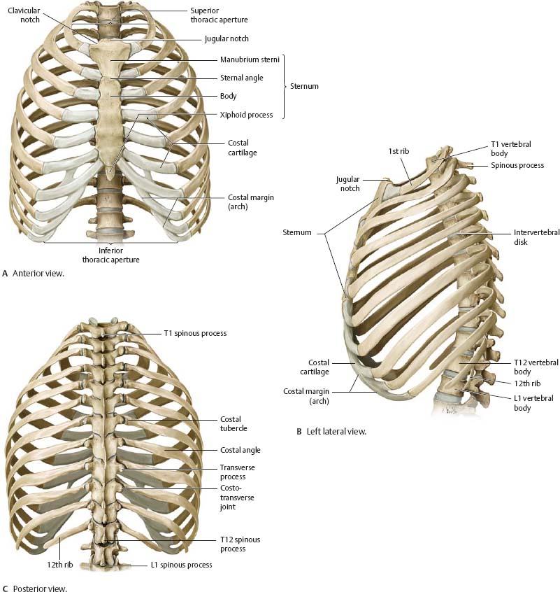 Thoracic cage anatomy
