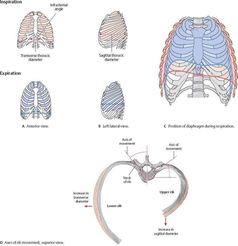 Thoracic Wall - Atlas of Anatomy