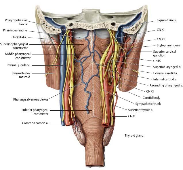 Oral Cavity Pharynx Atlas Of Anatomy