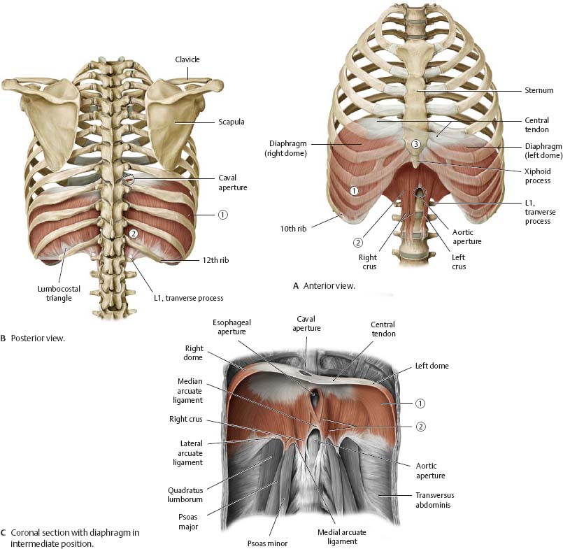 Thoracic Wall Atlas Of Anatomy