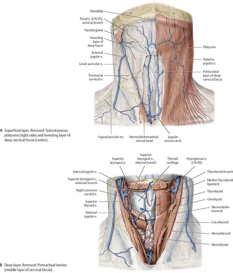 Neck - Atlas of Anatomy