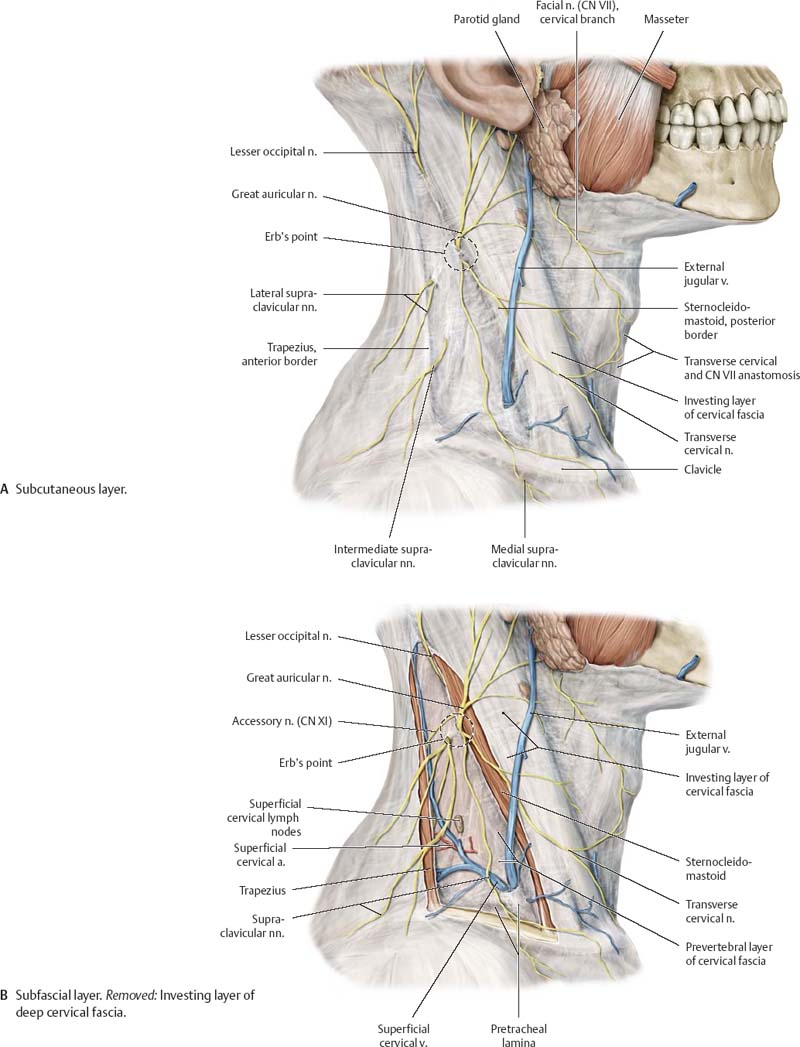 Neck Atlas Of Anatomy