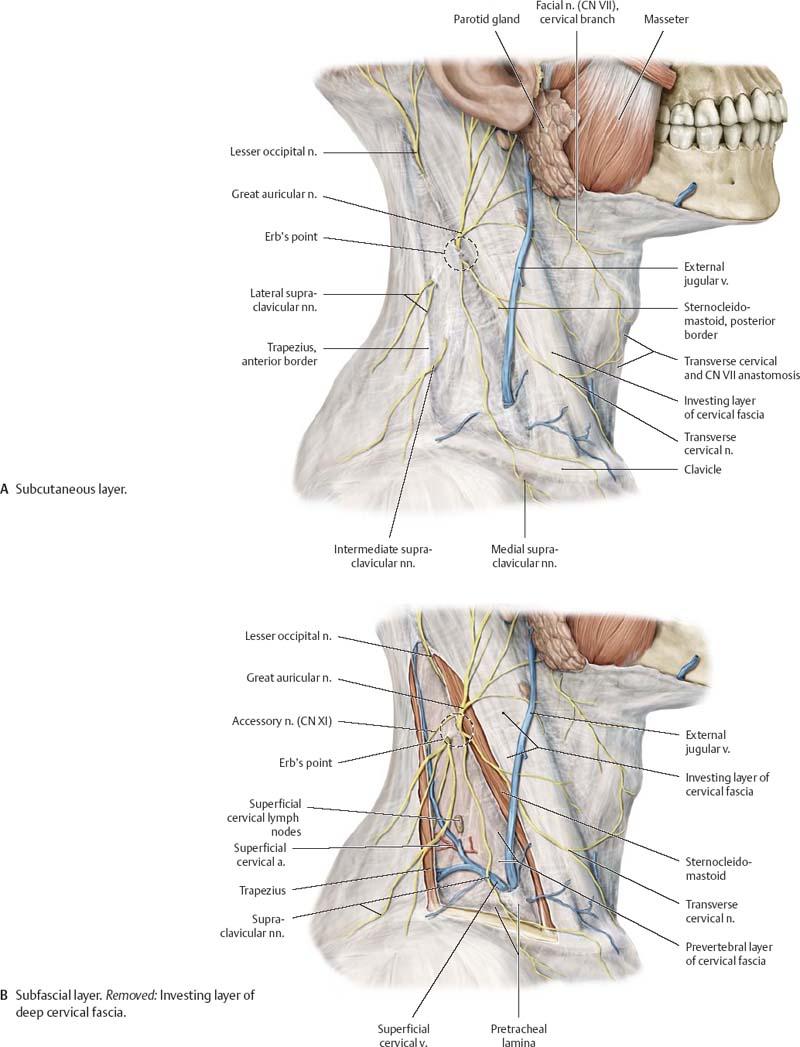 Cervical Region Anatomy