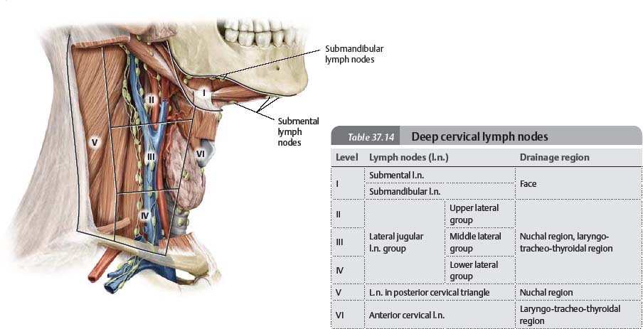 Neck - Atlas of Anatomy