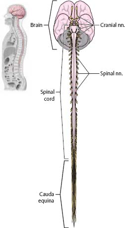 Anatomy of the brain and spinal cord