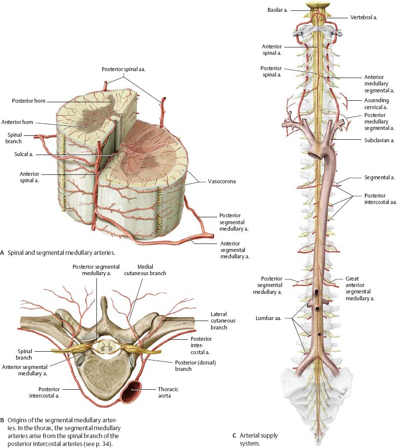 Blood Vessels of the Brain & Spinal Cord - Atlas of Anatomy