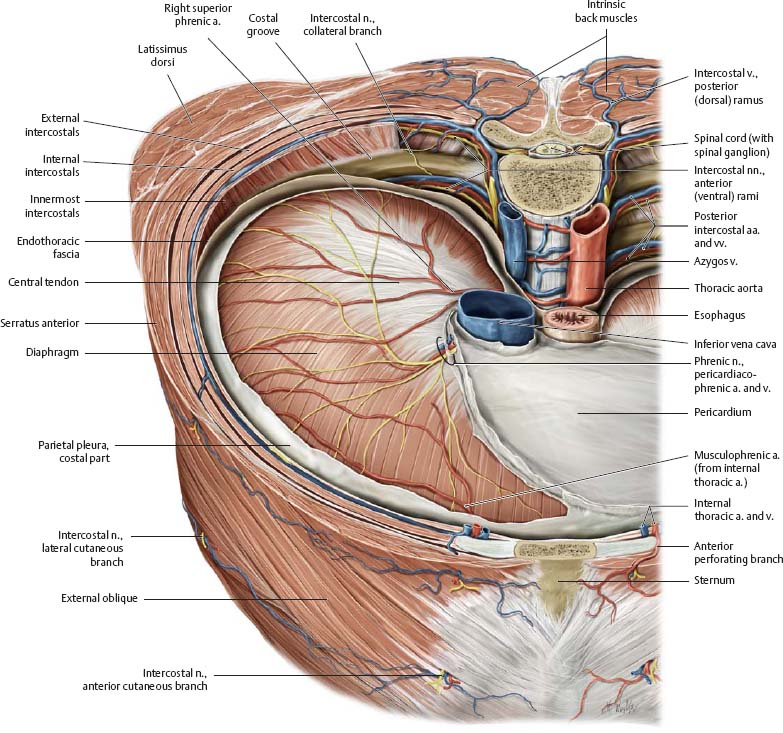 Thoracic Wall - Atlas of Anatomy