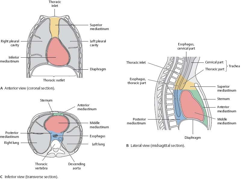 Thoracic Cavity - Atlas of Anatomy