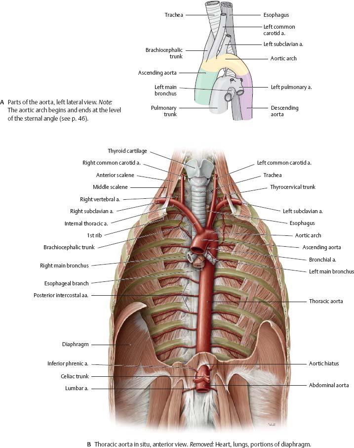 Thoracic Cavity Organs