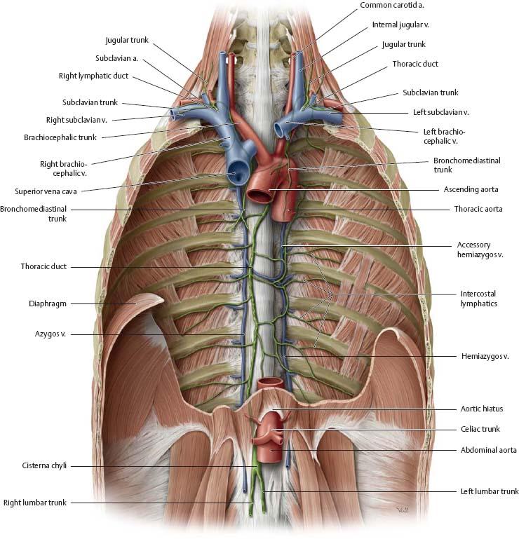 Thoracic Cavity Atlas Of Anatomy
