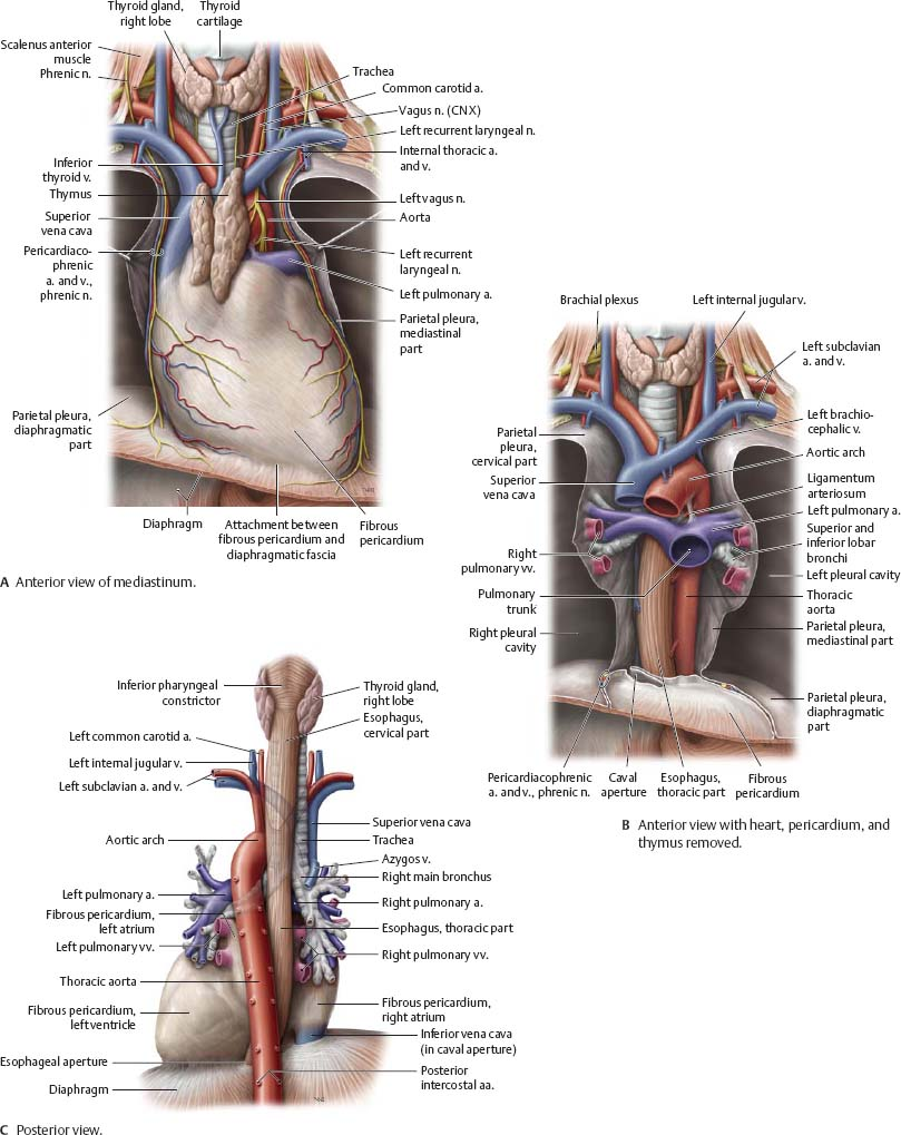 Groß Vordere Brustwand Anatomie Bilder - Anatomie Ideen - finotti.info