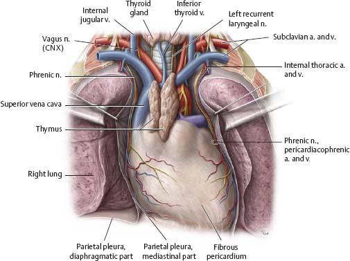 anterior mediastinum anatomy - photo #14