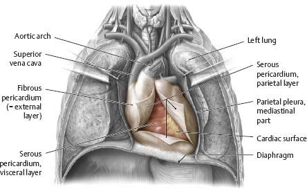 Mediastinum - Atlas of Anatomy