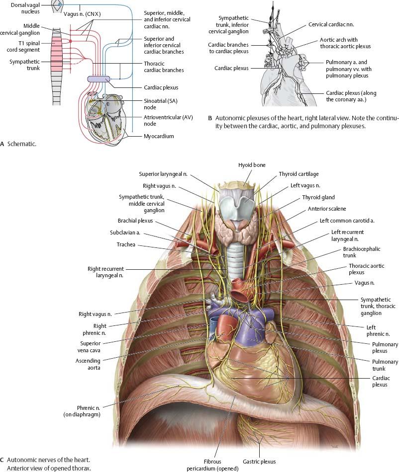 Mediastinum Atlas Of Anatomy