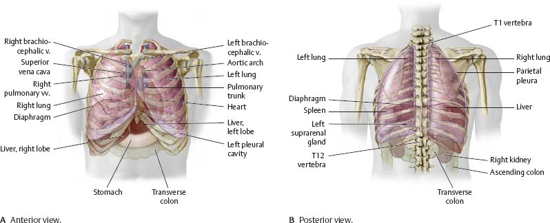 pleural cavity - atlas of anatomy, Human Body