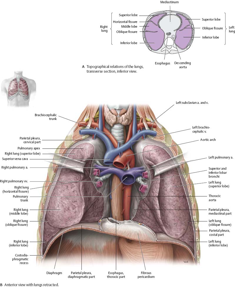 Pleural Cavity - Atlas of Anatomy
