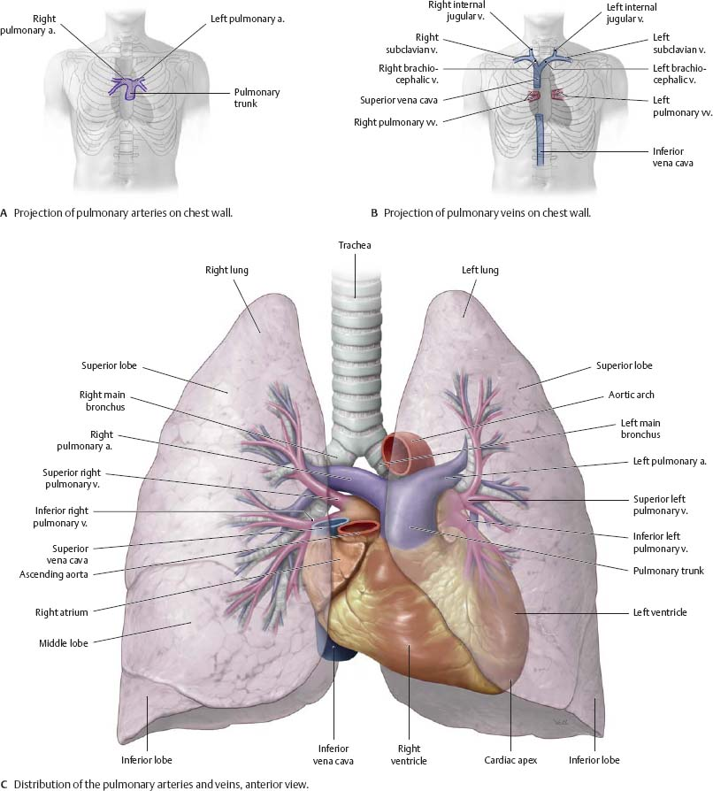 Pleural Cavity Atlas Of Anatomy