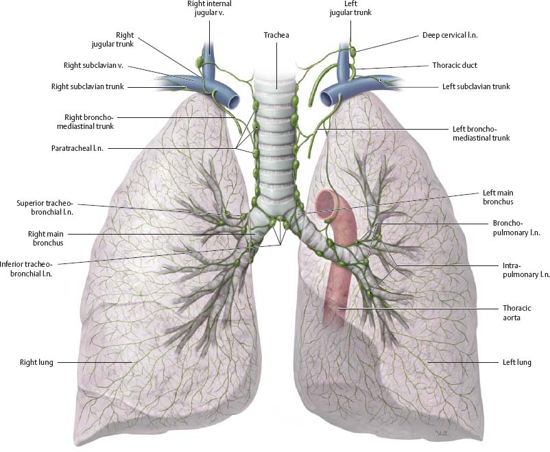 Pleural Cavity Atlas Of Anatomy