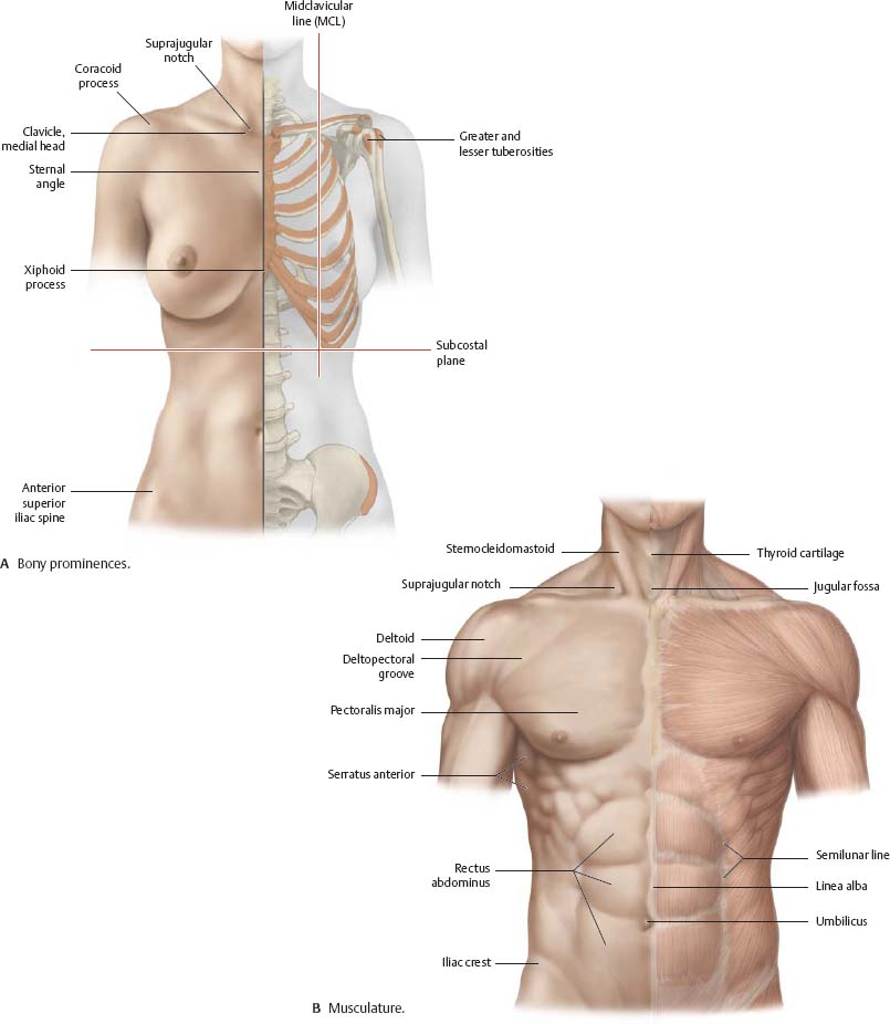 Surface Anatomy Atlas Of Anatomy