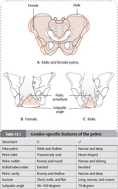 Bones Ligaments Amp Joints Atlas Of Anatomy