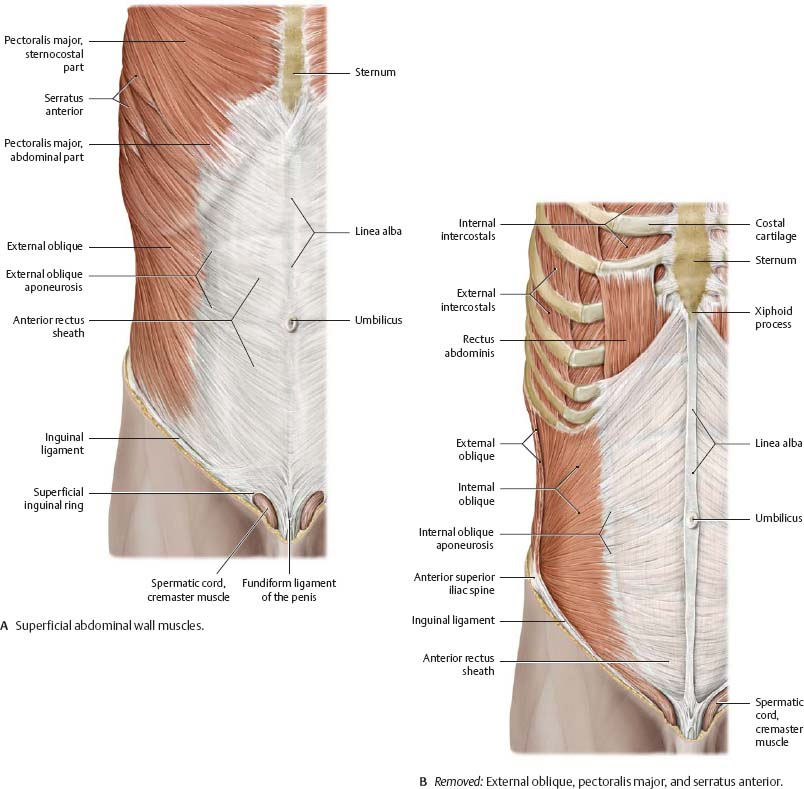 Abdominal Wall Atlas Of Anatomy