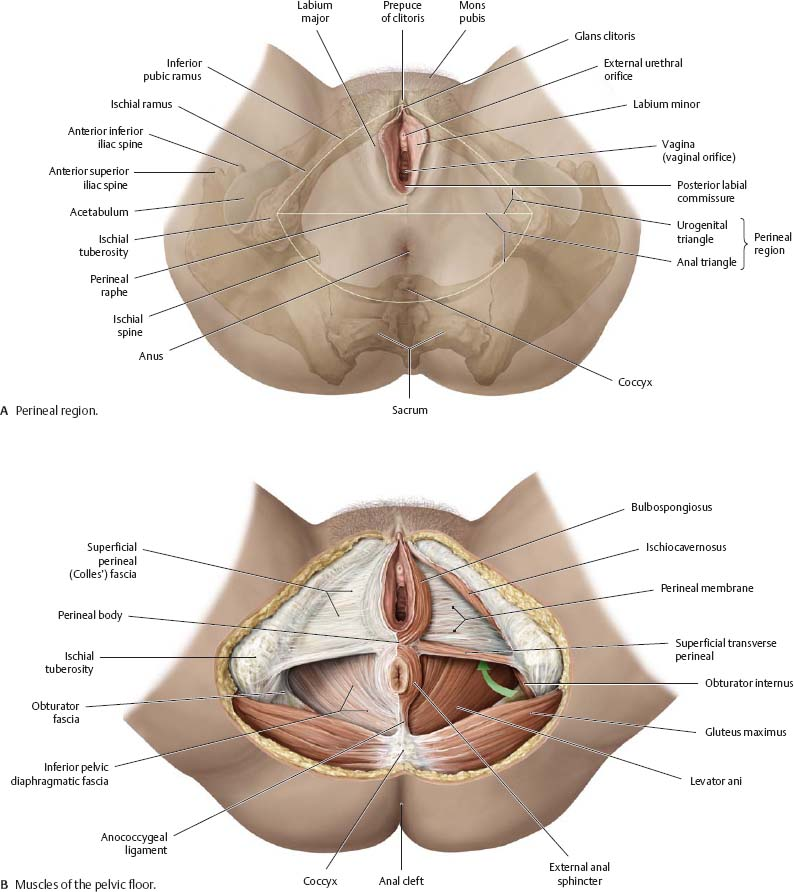 Abdominal Wall - Atlas of Anatomy