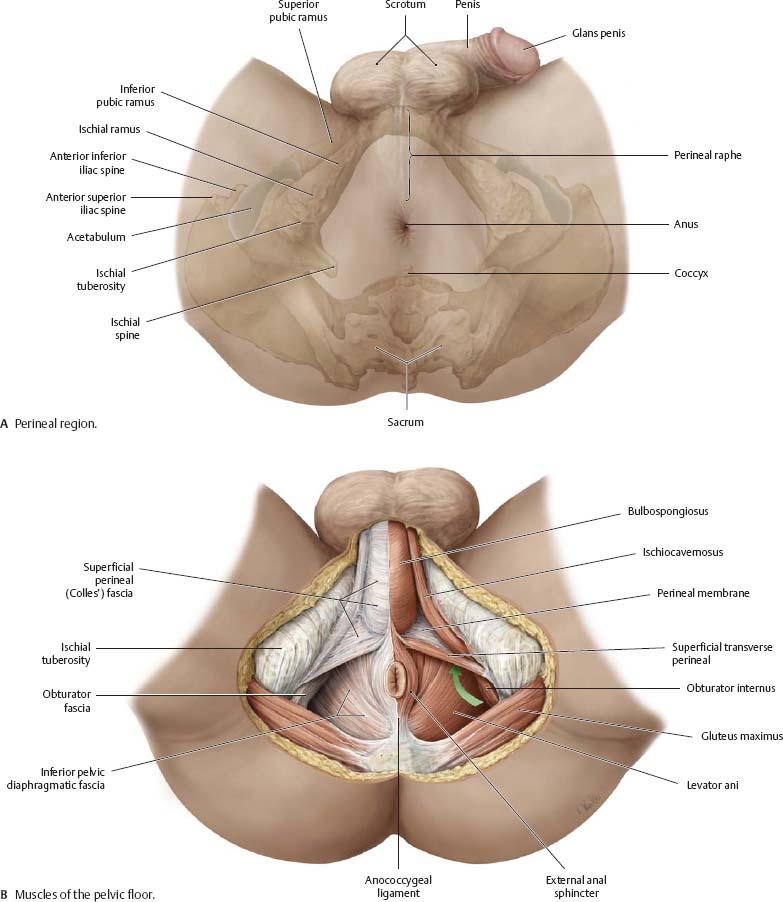 Abdominal Wall - Atlas of Anatomy