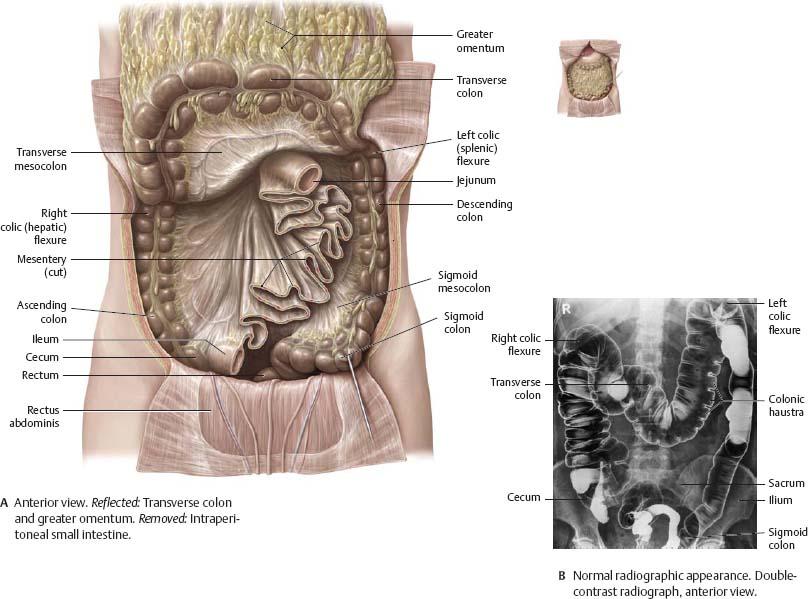 Internal Organs - Atlas of Anatomy